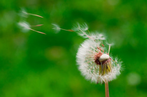 Dandilion Wish by Life Supercharger Flickr Creative Commons