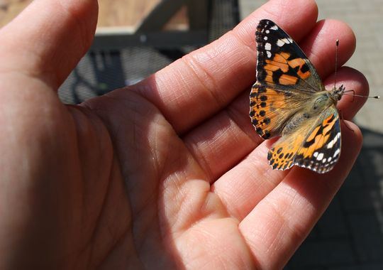 One of the painted lady butterflies raised and released by patients at the Northeast Center for Rehabilitation and Brain Injury recently.(Photo: Photo courtesy of Jennifer Davies)